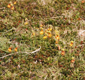 The Falkland Islands endemic Lady's Slipper, Calceolaria fothergillii