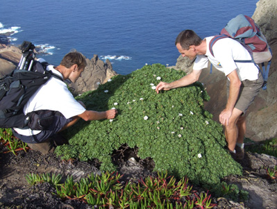 Conservationists assess the St. Helena endemic Scrubwood, Commidenrum rugosum