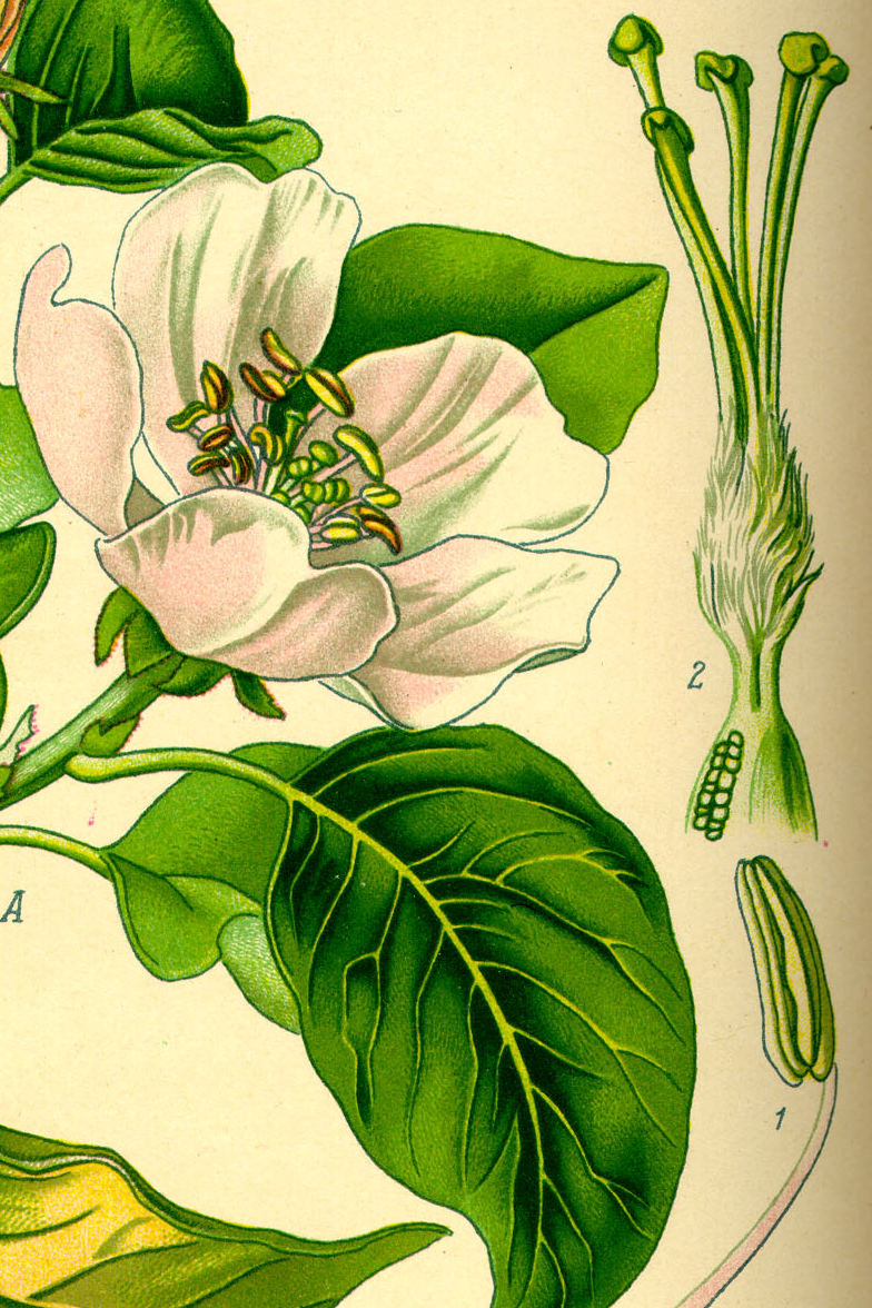 Oxford University Plants 400: Cydonia oblonga - BRAHMS Online