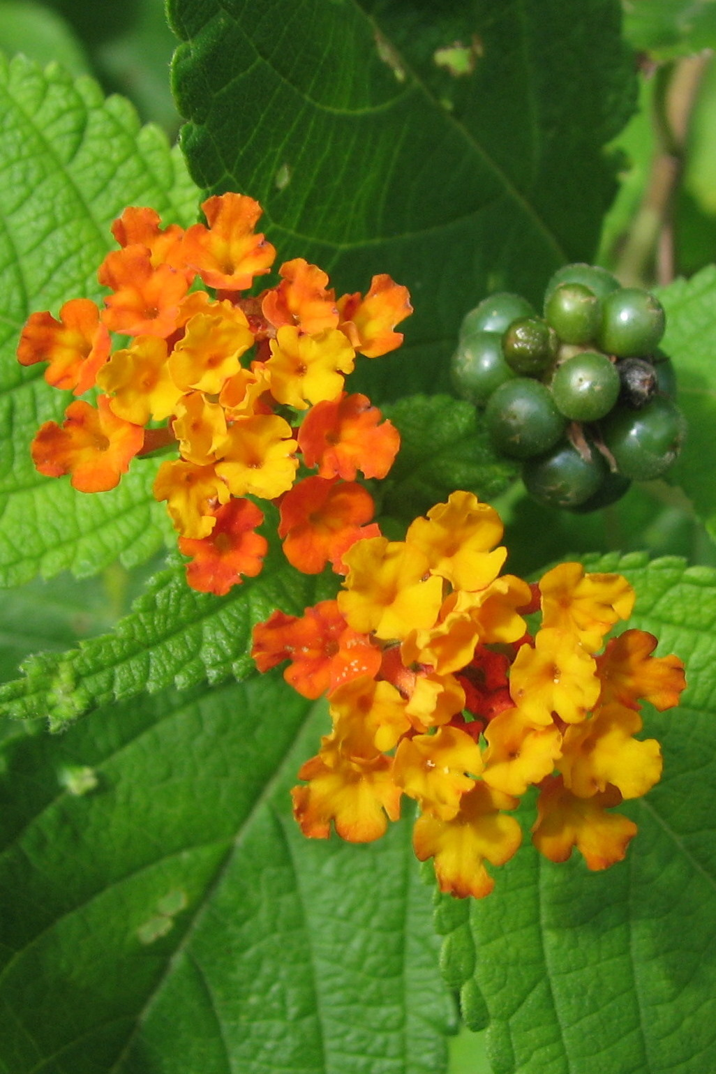 Oxford University Plants 400 Lantana Camara Brahms Online