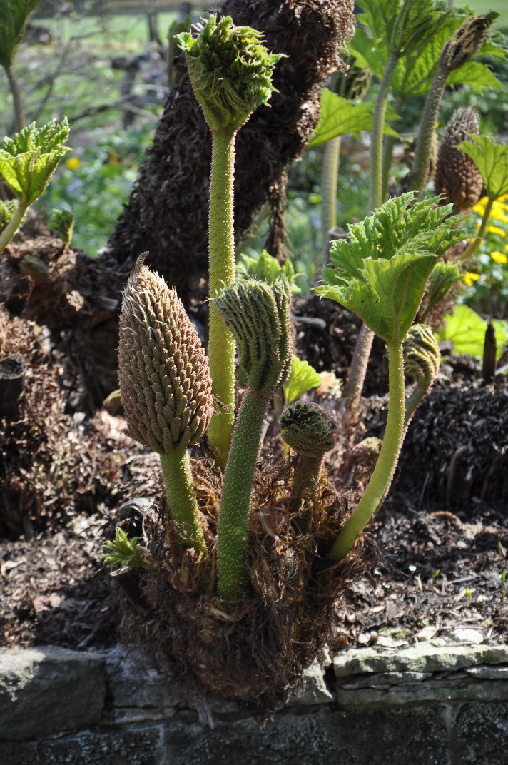 Oxford University Plants 400 Gunnera manicata BRAHMS Online