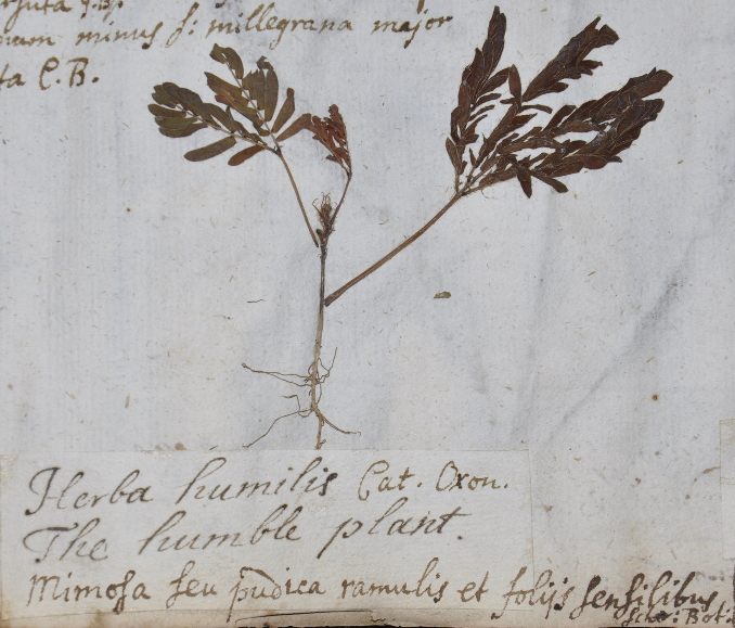 Oxford University Plants 400: Mimosa pudica - BRAHMS Online