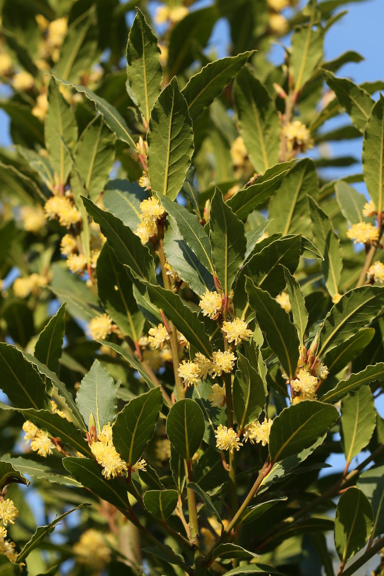 Oxford University Plants 400: Laurus nobilis - BRAHMS Online