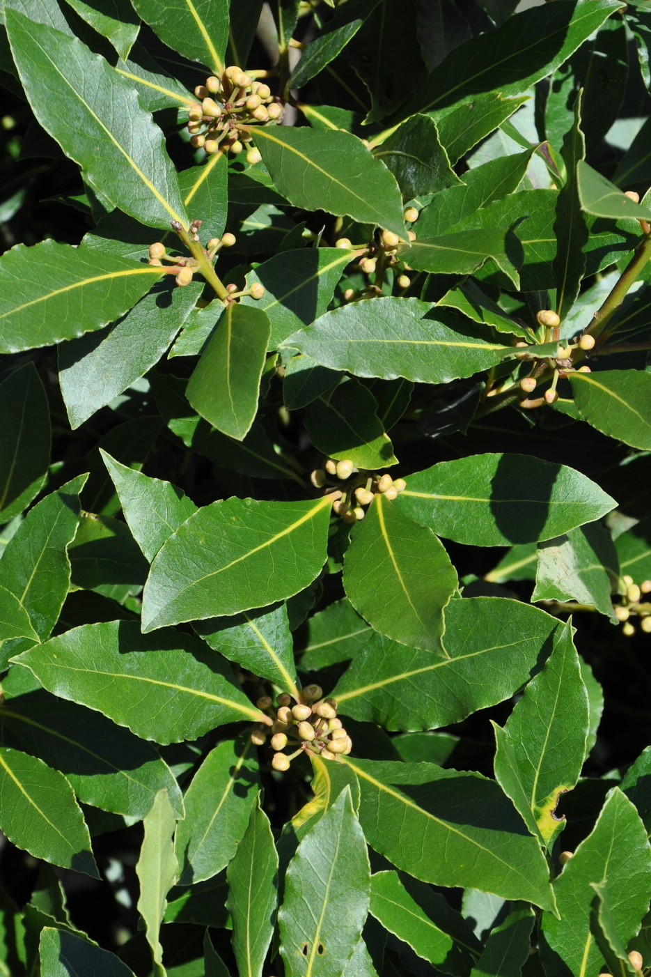 Images about laurel leaf design on pinterest - Oxford University Plants 400 Laurus Nobilis Brahms Online 935x1402
